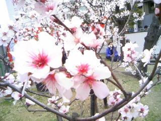 アーモンドの花3.JPG